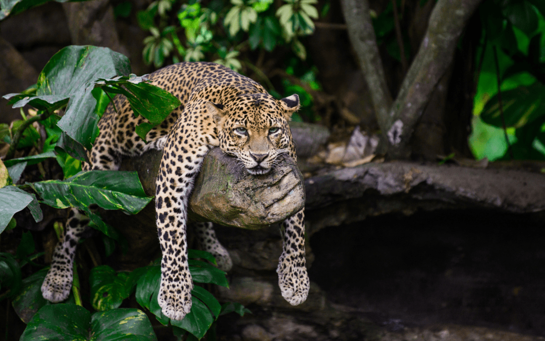 A leopard is laying down in a tree.